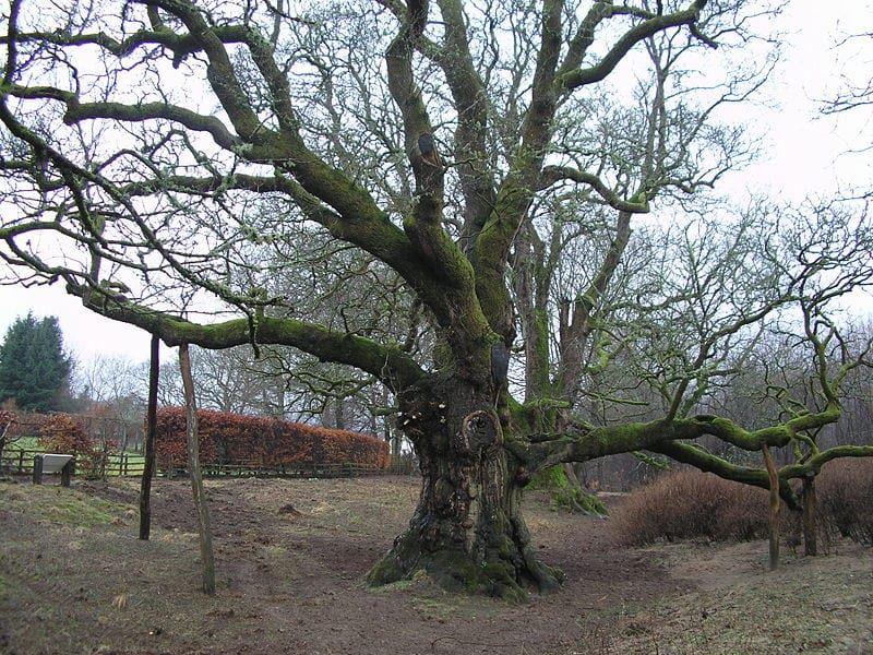 The Birnam Oak: things to do in Dunkeld